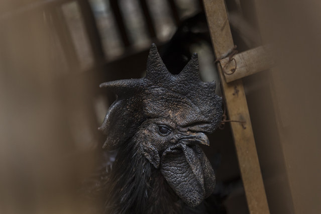A rooster bred for its all black appearance peers out from its cage at a small backyard farm on February 3, 2017 on the outskirts of Jakarta, Indonesia. (Photo by Ed Wray/Getty Images)