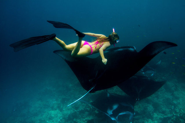 Photos taken by photographer Sarah Lee show the beautiful sight of Manta Rays at night, as they swim with America explorer, Alison Teal. (Photo by Sarah Lee/Caters News Agency)
