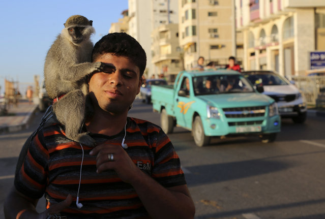 A Palestinian youth holds a monkey as he walks at the main beach road in Gaza City, northern Gaza Strip, Friday, May 8, 2015. (Photo by Adel Hana/AP Photo)