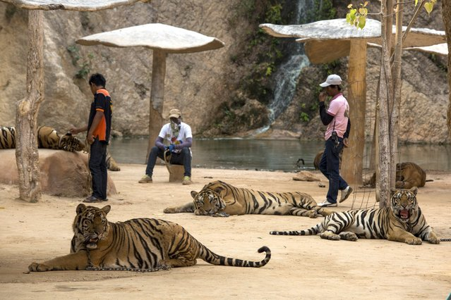 Staff members wait in Tiger Canyon, where visitors can have their photo taken with the big cats, at Tiger Temple in Kanchanaburi, Thailand, March 16, 2016. The temple promotes itself as a place where tigers betray their wild nature to coexist with humans in Buddhist harmony, and some monks and staff members believe that certain tigers are reincarnated monks or family members. (Photo by Amanda Mustard/The New York Times)