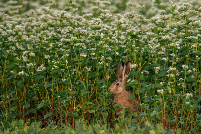 A rabbit sits on a buckwheat field during twilight near Herrnleis, some 50 kilometers northern Austrian capital Vienna, Austria, 28 August​ 2019. (Photo by  Christian Bruna/EPA/EFE)