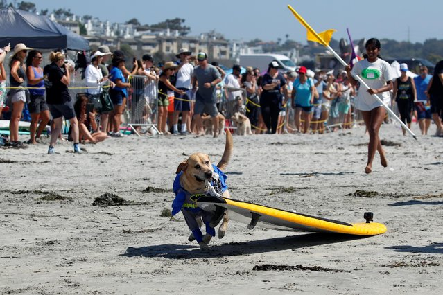 "A dog pulls his surfboard to the water to begin his heat during competition at14th annual Helen Woodward Animal Center ""Surf-A-Thon"" where more than 70 dogs competed in five different weight classes for ""Top Surf Dog 2019"" in Del Mar, California, U.S., September 8, 2019. (Photo by Mike Blake/Reuters)"