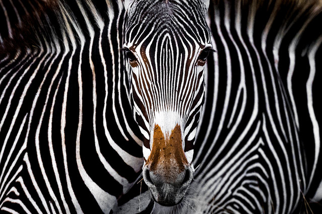 The Grevy's Illusion by Yaron Schmid, USA: a Grevy's zebra staring at the camera in Lewa, Kenya. Third place – wildlife. (Photo by Yaron Schmid/The Nature Conservancy Global Photo Contest 2019)