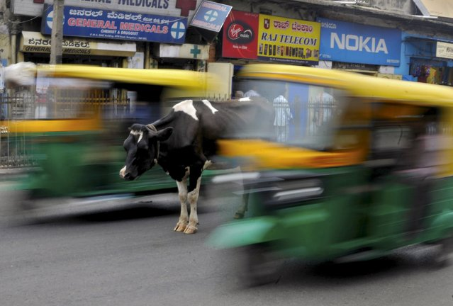 A cow stands in the middle of a busy road as auto-rickshaws pass by in Bengaluru, India, in this June 2, 2015 file photo. (Photo by Abhishek N. Chinnappa/Reuters)