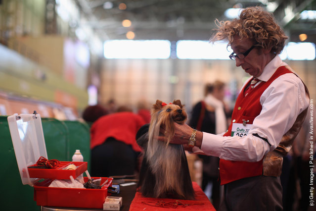 A Yorkshire Terrier is groomed by it's owner on Day one of Crufts at the Birmingham NEC Arena