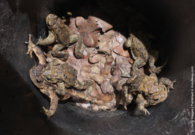 Toads, including males clinging to the backs of their female partners, lie trapped in a buried bucket left by volunteers along a road near Berlin