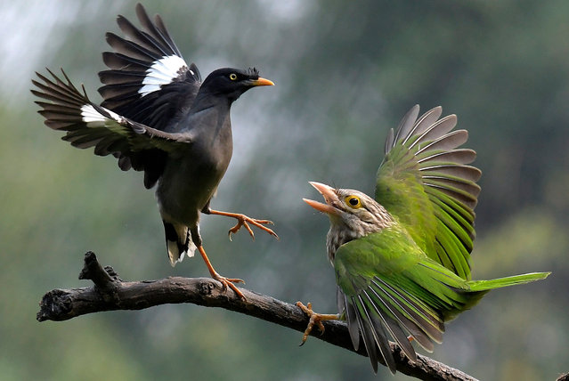 A lineated barbet (R) and a jungle myna (L) fight in the Morigaon district of Assam, India, 17 November 2019. (Photo by EPA/EFE/Stringer)