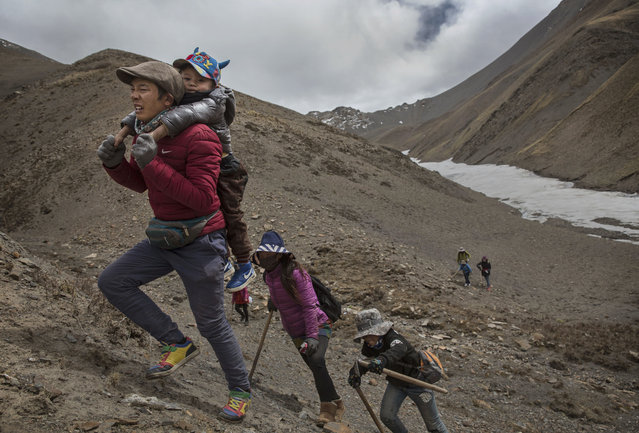 A Tibetan man carries his child on his back as they climb at high altitude while picking cordycep fungus on May 23, 2016 on the Tibetan Plateau near Zadoi in the Yushu Tibetan Autonomous Prefecture of Qinghai province. (Photo by Kevin Frayer/Getty Images)