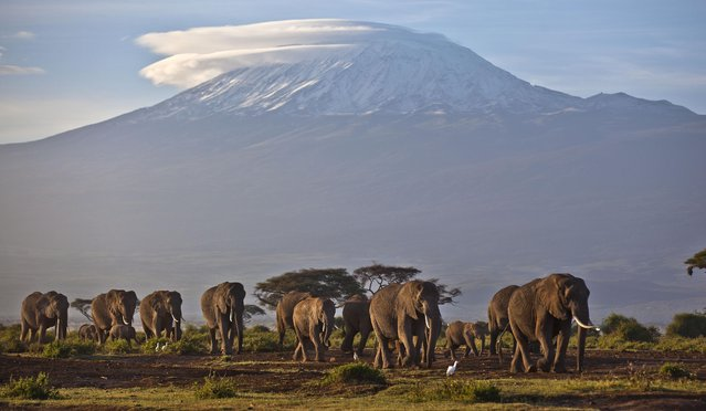 In this Monday, December 17, 2012 file photo, a herd of adult and baby elephants walks in the dawn light in Amboseli National Park, southern Kenya, as the highest mountain in Africa Mount Kilimanjaro in neighboring Tanzania is seen in the background. (Photo by Ben Curtis/AP Photo)