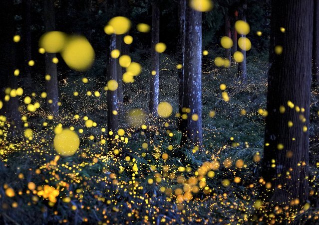 Fireflies dance around a hidden cedar forest deep in the mountains of Japan, July, 22, 2016, in Tamba, Japan. Known as Princess Fireflies, the beautiful insects transform the evening woodland into an enchanted forest, like a scene from a fairytale. (Photo by Nori Yuasa/Solent News/Splash News)