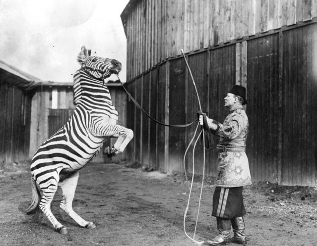 A circus performer trains a zebra to stand on its hind legs, circa 1920.