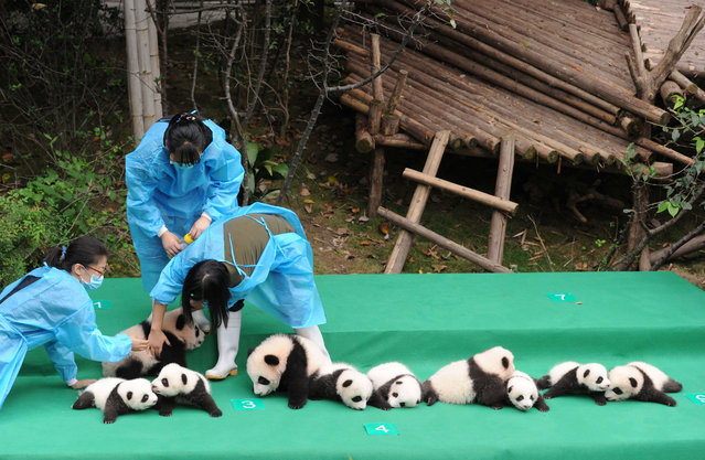 Giant pandas born in 2017 are seen on a display at the Chengdu Research Base of Giant Panda Breeding in Chengdu, Sichuan province, China September 29, 2017. (Photo by Reuters/China Stringer Network)