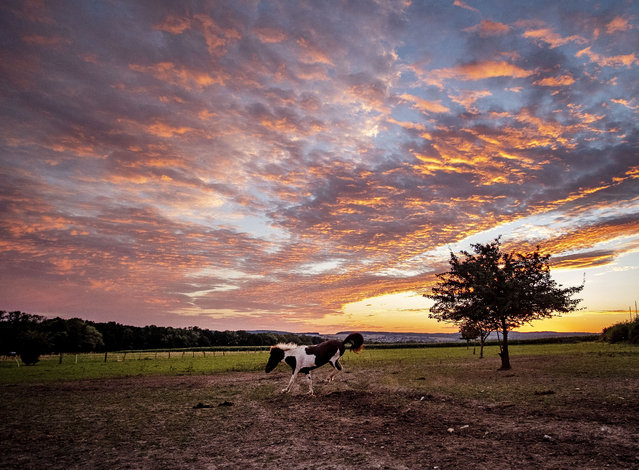 An Icelandic horse frolics in its paddock at a stud farm in Wehrheim near Frankfurt, Germany, just before sunrise on Friday, August 21, 2020. Germany expects one of its hottest day this year. (Photo by Michael Probst/AP Photo)
