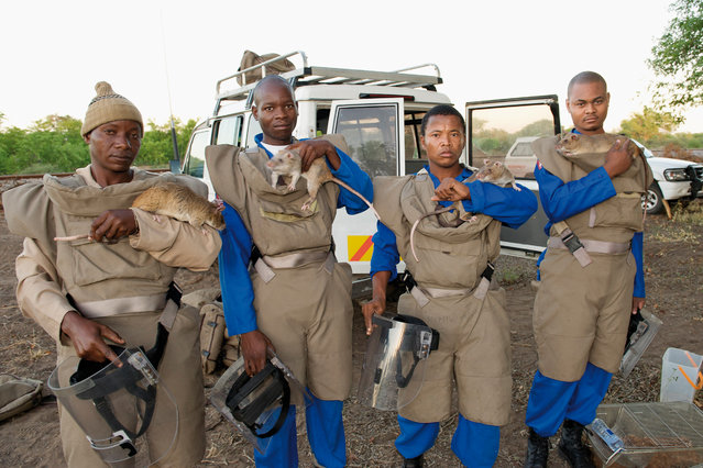MDR (Mine detection rat) handlers with their protective gear and some of the rats. Gaza province, Mozambique, December 2008.