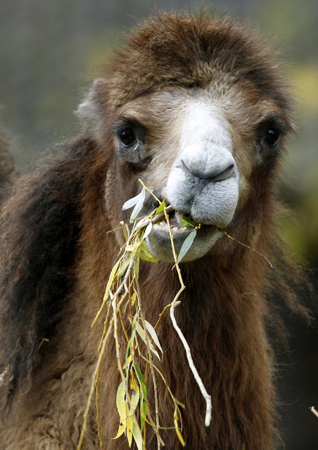 A camel feeds freshly cut willow at the zoo in Krefeld, northwestern Germany, Tuesday, December 2, 2014. (Photo by Roland Weihrauch/AP Photo/DPA)
