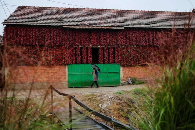 A woman walks along a road as bunches of paprika hang on the wall of a house to dry in the village of Donja Lakosnica, Serbia October 7, 2016. (Photo by Marko Djurica/Reuters)