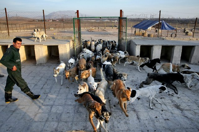 In this Friday, December 5, 2014 photo, an Iranian worker looks at dogs being released from their cages to eat at the Vafa Animal Shelter in the city of Hashtgerd 43 miles (73 kilometers) west of the capital Tehran, Iran. (Photo by Vahid Salemi/AP Photo)