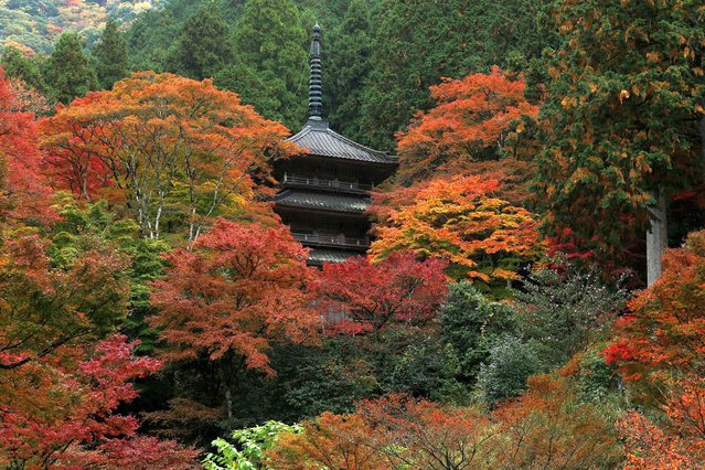 """A pagoda is seen through trees displaying their Autumn colours at Kogenji Temple on November 09, 2020 in Tanba, Hyogo, Japan. Domestic tourists have started visiting rural towns to enjoy seeing autumn leaves, as they take advantage of the Japanese government's """"Go To Travel"""" tourism programme. (Photo by Buddhika Weerasinghe/Getty Images)"""