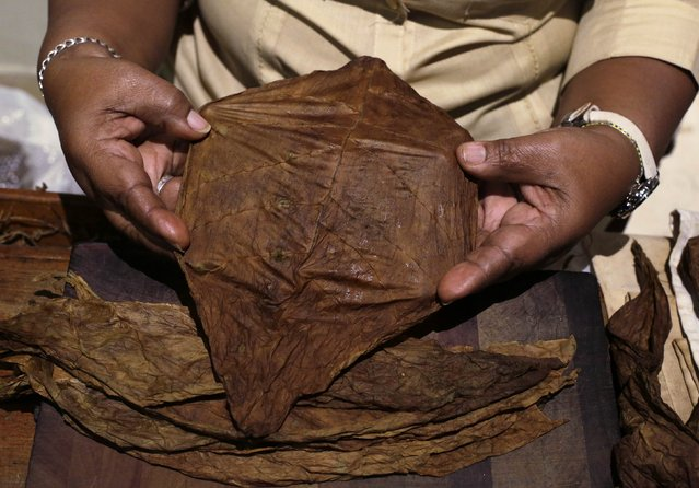 Staff member Maria Regla, 60, shows a tobacco leaf at a hotel in Havana December 19, 2014. From bus drivers to bartenders and ballet dancers, many Cubans are already imagining a more prosperous future after the United States said it will put an end to 50 years of conflict with the communist-run island. (Photo by Enrique De La Osa/Reuters)