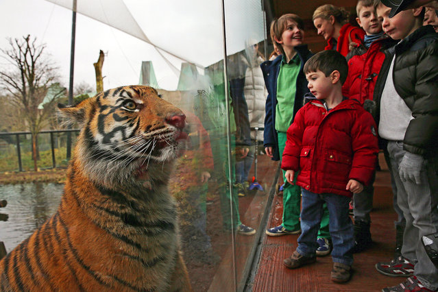 A Sumatran Tiger looks at visiting children from it's enclosure during the ZSL London Zoo's annual stocktake of animals on January 5, 2015 in London, England. (Photo by Dan Kitwood/Getty Images)