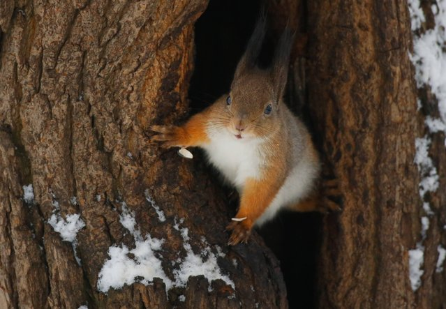 A squirrel looks out of the hollow in a snow covered park after snowfall in Minsk, Belarus, Friday, January 23, 2015. Belarus capital was hit by heavy snowfall on Friday morning, as temperatures stay 0 degrees Celsius (32 Fahrenheit). (Photo by Sergei Grits/AP Photo)