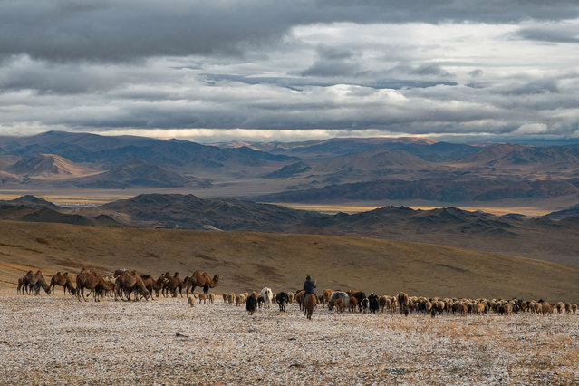 The Kazakh people rely entirely on their livestock for meat, milk and to support themselves in Altai Mountains, Mongolia, September 2016. (Photo by Joel Santos/Barcroft Images)