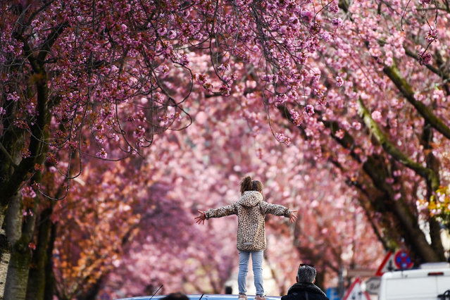 A girl poses under blooming cherry trees at the Heerstrasse street in Bonn, western Germany on April 9, 2021. The cherry blossom street in Bonn became famous after photographers started posting pictures of it on the web in the 1980s. (Photo by Ina Fassbender/AFP Photo)