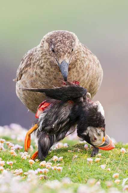 Animal behaviour winner: Life and Death at the Edge of the World (Great Skua and Puffin), Fair Isle, Shetland. (Photo by Sunil Gopalan/British Wildlife Photography Awards)