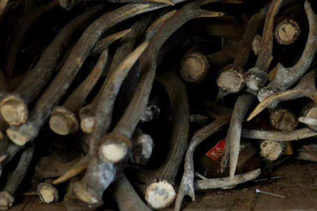 Deer antlers pile up in a shed at the farm of hunter Yasuyo Kitagawa in Oi, Fukui Prefecture, Japan, November 18, 2016. (Photo by Thomas Peter/Reuters)