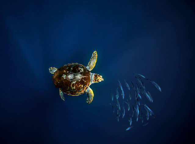 Loggerhead turtles are omnivorous, using their powerful jaws to crack into the shells of gastropods as well as feeding on sponges, worms, crustaceans, sea cucumbers and starfish. (Photo by Philip Hamilton/The Guardian)