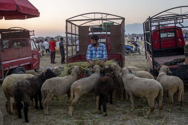 A Kashmiri Muslim livestock vendor feeds his flock of sheep as he waits for customers at a market ahead of the Muslim festival of Eid al-Adha in Srinagar, Indian controlled Kashmir, Friday, July 16, 2021. Authorities in Indian-controlled Kashmir on Friday said there is no ban on the sacrifice of animals during the upcoming Islamic Eid al-Adha holiday, a day after the government asked law enforcers to stop the sacrifice of cows, calves, camels and other animals. (Photo by Dar Yasin/AP Photo)