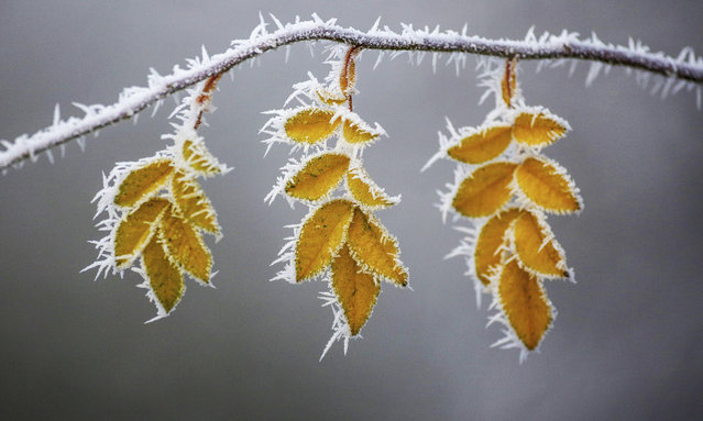 Hoarfrost covered leaves hang down from a tree at a cold winter day in Uttenweiler-Aderzhofen, south west Germany, Thursday, December 27, 2019. (Photo by Thomas Warnack/DPA via AP Photo)