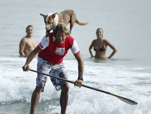 Swimmers watch on as Australian dog trainer and former surfing champion Chris de Aboitiz rides a wave with his dog Rama atop his shoulder off Sydney's Palm Beach, February 18, 2016. (Photo by Jason Reed/Reuters)