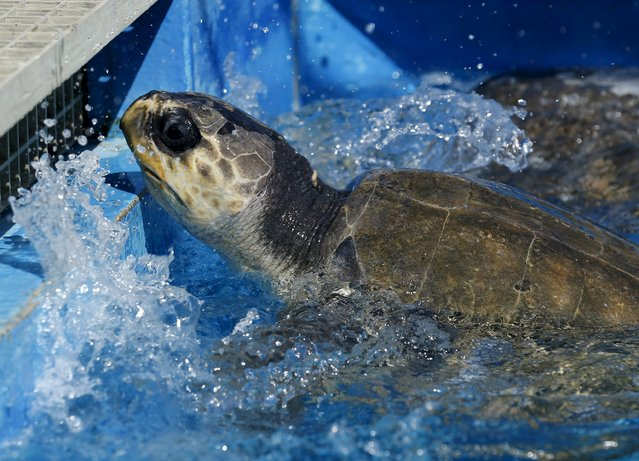 One of two rescued endangered olive ridley turtles swims in its new pool as it arrives at Sea World's animal rescue center after being flown from the Oregon coast by the U.S. Coast Guard to San Diego, California March 30, 2016. (Photo by Mike Blake/Reuters)