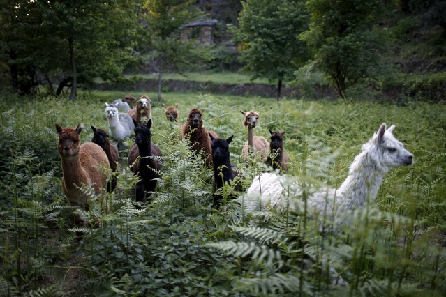 Alpacas of Lisa Vella-Gatt (not pictured) walk by her farm near Benfeita, Portugal May 11, 2015. (Photo by Rafael Marchante/Reuters)