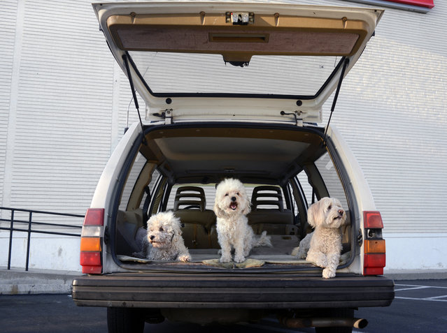 "Three poodles sit in a boot in Los Angeles, California. A wacky photographer has come up with an unusual pet project – snapping ecstatic dogs as they hang their heads out of car windows. Lara Jo Regan, 48, embarked on the odd task for her new 2014 calendar ""Dogs In Cars"". The unusual shoot, which took place in Los Angeles, California, aimed to explore the joy experienced by pugs and huskies when a breeze hits their faces. (Photo by Lara Jo Regan/Barcroft Media)"
