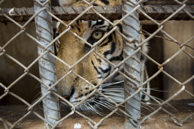 A tiger in an enclosure at Tiger Temple, a Buddhist monastery where paying visitors can interact with young adult tigers, in Kanchanaburi, Thailand, March 16, 2016. (Photo by Amanda Mustard/The New York Times)