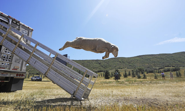 About 300 hundred sheep leap from a truck for this weekend's annual Soldier Hollow Classic Sheepdog Championship Wednesday, August 28, 2019, in Midway, Utah. Handlers will send their dogs to herd sheep, via command, from a hilltop downward, through gates, and eventually into a corral in front of the stands. This year, the 2019 Soldier Hollow Classic will host 34 handlers and 43 dogs representing the United States, Scotland, South Africa, Switzerland, and Canada. This group includes both women and men, and handlers that range in age from those in their 20s to senior citizens. (Photo by Rick Bowmer/AP Photo)