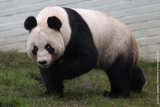 Tian Tian the female panda bear looks out from her enclosure as members of the public view her for the first time at Edinburgh Zoo