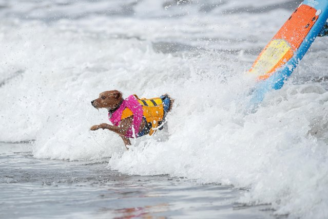 "A dog jumps off a surfboard during competition at the 14th annual Helen Woodward Animal Center ""Surf-A-Thon"" where more than 70 dogs competed in five different weight classes for ""Top Surf Dog 2019"" in Del Mar, California, U.S., September 8, 2019. (Photo by Mike Blake/Reuters)"