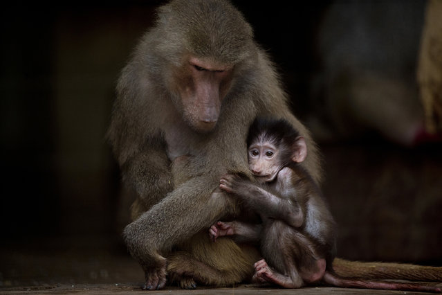 In this July 8, 2016 photo, a young baboon clings to its mother in their enclosure at the former city zoo now known as Eco Parque in Buenos Aires, Argentina. A year after the zoo closed its doors and was transformed into a park, hundreds of animals remain behind bars and in a noisy limbo. (Photo by Natacha Pisarenko/AP Photo)