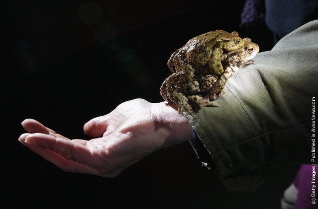 A female toad carrying her male partner walks up the arm of volunteer Burghard Sell after he caught them along an amphibian fence next to a road near Berlin