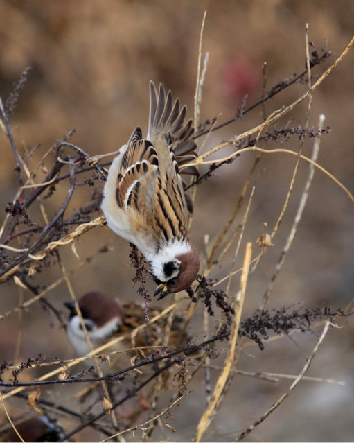 Sparrows forage in a park in Bole, Xinjiang, China. (Photo by CostFoto/Barcroft Media)