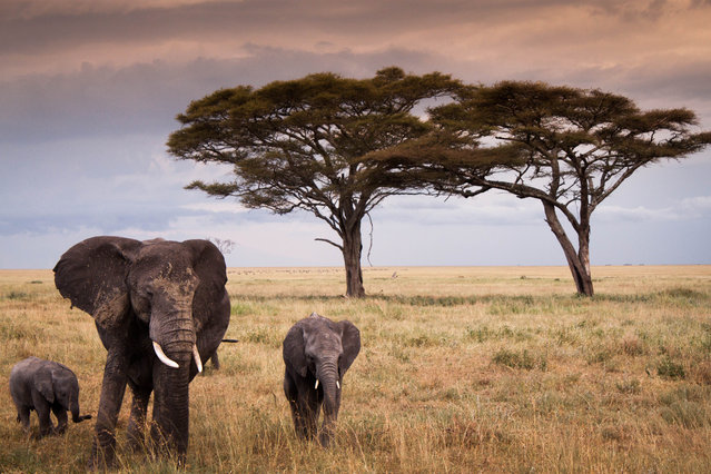 """""""Matriach in the Serengeti"""". On Safari in the vast openness of the Tanzanian Serengeti National Park, a large herd of elephants grazed peacefully, with a few new family members following close by. Here a beautiful mother with her two young calves in tow. Photo location:  Serengeti National Park, Tanzania. (Photo and caption by Cara Cortese/National Geographic Photo Contest)"""