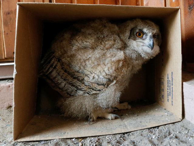 A 3-week-old Eurasian eagle owl looks out of a cardboard box inside its enclosure at the Royev Ruchey zoo on the suburbs of the Siberian city of Krasnoyarsk, Russia, June 7, 2016. (Photo by Ilya Naymushin/Reuters)