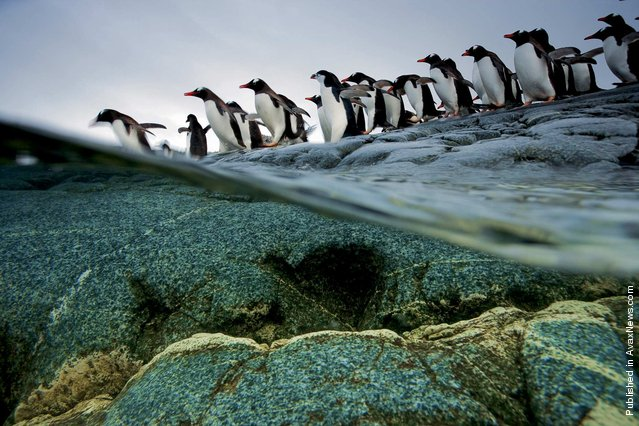 Penguins. Port Lockroy, The Antarctic Peninsula