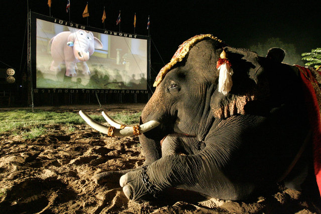 A mahout watches the Thai animation movie Kan Kluay with his elephant in Ayuthaya province, about 80km (49 miles) north of Bangkok June 5, 2006. The movie tells the story of a young Thai wild elephant who, while looking for his father, becomes the war elephant of the Thai King fighting against Burma and restored Thailand's ancient Ayuthaya empire that existed about 400 years ago. (Photo by Sukree Sukplang/Reuters)