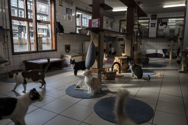 In this Wednesday, August 2, 2017 photo, cats gather for food on the Catboat shelter in Amsterdam, Netherlands. (Photo by Muhammed Muheisen/AP Photo)