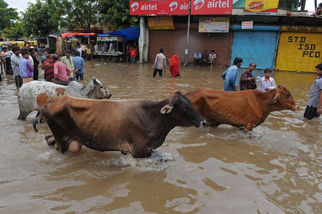 Cows wade through floodwaters in Ahmedabad on July 30, 2014. Rains lashed Ahmedabad and many regions of India's western Gujarat state, wth the Indian Metrological Department warning of heavy rains for the next 48 hours. (Photo by Sam Panthaky/AFP Photo)