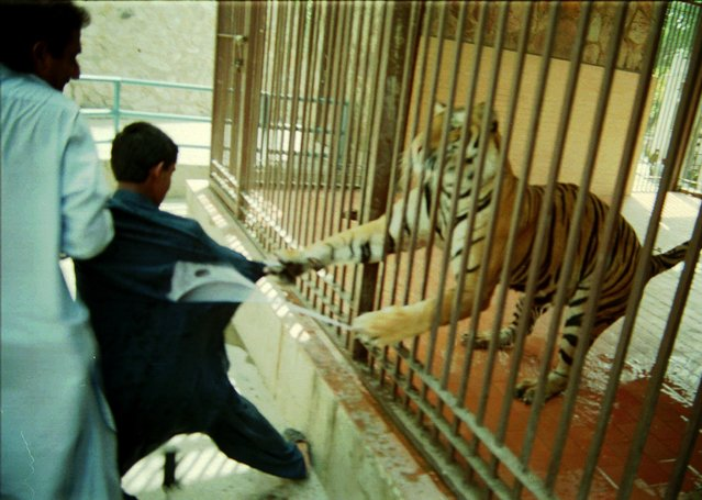 Saleem Ahmed, 12, who wanted his photograph taken with Neeli  the tiger as a backdrop, is attacked, Tuesday, June 17, 1997 at the zoo in Lahore, Pakistan. Ahmed was uninjured in the attack though his clothes were shredded by the two-year-old Bengali tiger which was presented to the zoo as a gift from the Bangladesh government in 1996. (Photo by K.M. Choudary/AP Photo)